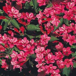 WEIGELA  florida  Bristol Ruby