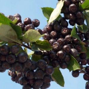 ARONIA prunifolia  Néro