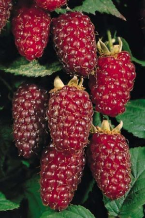 RUBUS fructicosus  Tayberry