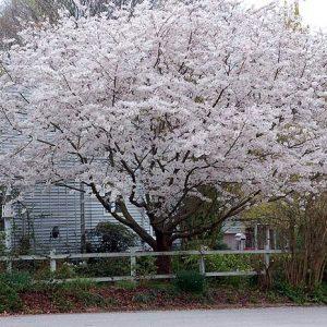 PRUNUS Yedoensis  Cerisier à fleur