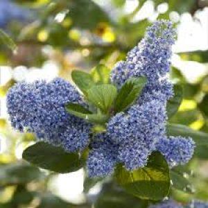 CEANOTHUS arboreus  Trewithen Blue