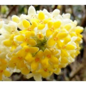 EDGEWORTHIA chrisantha Nanjing gold