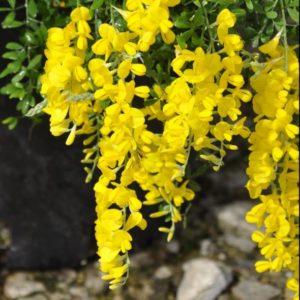 GENISTA racemosa